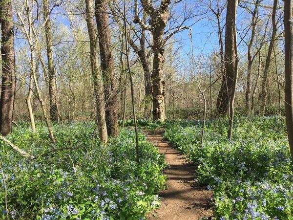 Apr 9 – Seneca Park – Spring BluebellHike